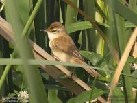 Rousserolle isabelle - Acrocephalus agricola - Paddyfield Warbler