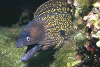 Muraena helena, Mediterranean moray: fisheries, aquarium