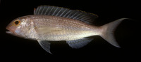 Nemipterus nemurus, Redspine threadfin bream: fisheries