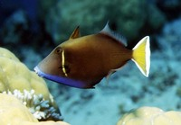 Sufflamen chrysopterum, Halfmoon triggerfish: fisheries, aquarium