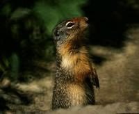 Image of: Spermophilus columbianus (Columbian ground squirrel)