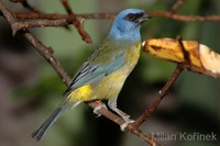 Thraupis bonariensis - Blue-and-yellow Tanager