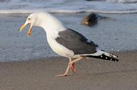 Image of: Larus occidentalis (western gull)