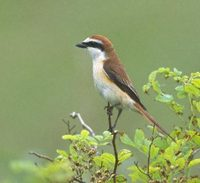 Brown Shrike (Lanius cristatus) photo