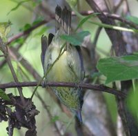 Spot-breasted Antvireo - Dysithamnus stictothorax