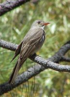 Greater Pewee - Contopus pertinax