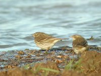 Water Pipit - Anthus spinoletta