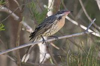 Spiny-cheeked Honeyeater - Acanthagenys rufogularis