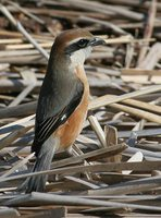 Bull-headed Shrike - Lanius bucephalus