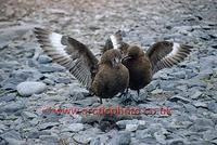 ...FT0164-00: Two Antarctic Skuas, Catharacta antarctica, with the body of a dead Adelie Penguin. S