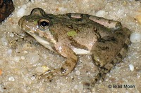 : Acris crepitans; Cricket Frog