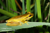 : Litoria revelata; Whirring Tree Frog