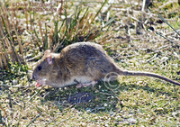 : Rattus norvegicus; Norway Rat, Brown Rat