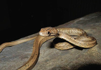 : Psammodynastes pulverulentus; Common Mock Viper