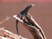: Urosaurus ornatus; Tree Lizard