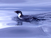 Ancient Murrelet, Synthliboramphus antiquus, Moresby Island, Haida Gwaii BC