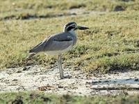 Photo of dytík křivozobý Esacus recurvirostris Great Stone Plover Krabbentriel