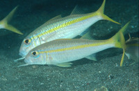 Mulloidichthys martinicus, Yellow goatfish: fisheries