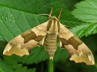 Mimas tiliae - Lime Hawk-moth