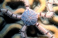 Ophionereis reticulata - Reticulated Brittle Star