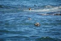 Image of: Phoca vitulina (harbor seal), Halichoerus grypus (gray seal)