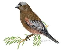 Image of: Leucosticte tephrocotis (grey-crowned rosy finch)