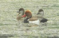 Red-crested Pochard - Rhodonessa rufina