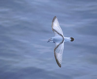 Fulmar Prion (Pachyptila crassirostris) photo
