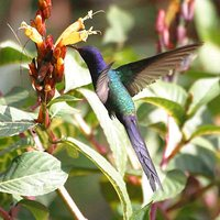 Swallow-tailed Hummingbird - Eupetomena macrourus