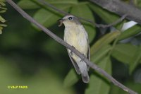 Korean Flycatcher - Ficedula zanthopygia