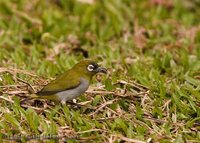 Black-capped White-eye - Zosterops atricapillus