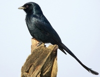 Black Drongo - Dicrurus macrocercus - Corvidae - Drongos, Crows, Magpies - Birds of India