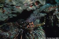 Panulirus guttatus - Spotted spiny lobster