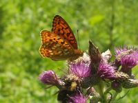 Argynnis adippe - High Brown Fritillary