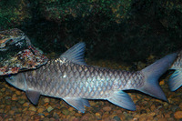 Tor douronensis, River carp: fisheries, aquaculture