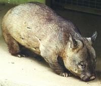 Image of: Lasiorhinus latifrons (southern hairy-nosed wombat)
