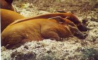 Image of: Potamochoerus porcus (red river hog)