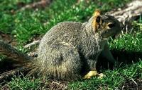 Image of: Sciurus niger (eastern fox squirrel)