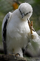 Spizastur melanoleucus - Black-and-White Hawk-Eagle