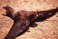 Black-nest Swiftlet - Collocalia maxima