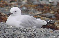 Black-billed Gull - Larus bulleri