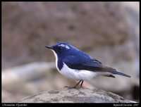 Ultramarine Flycatcher - Ficedula superciliaris