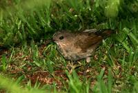 Pale-breasted  thrush   -   Turdus  leucomelas   -
