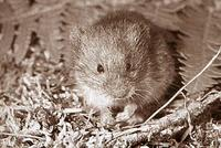 HEATHER VOLES  (Phenacomys intermedius)