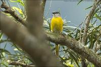 Grey-chinned Minivet female