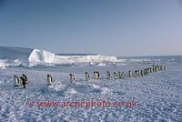 ...FT0110-00: Emperor Penguins walk in a line across sea ice by the ice shelf as they return to the