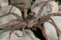 : Dolomedes sp.; Fishing Spider