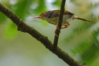 Common Tailorbird ( Orthotomus sutorius )