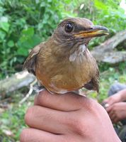 Brown-headed Thrush » Turdus chrysolaus