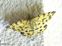 Pseudopanthera macularia - Speckled Yellow
